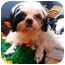 Photo 3 - Shih Tzu Puppy for adoption in Latrobe, Pennsylvania - Walter