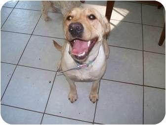 Labrador Retriever Dog for adoption in manville, New Jersey - Samatta