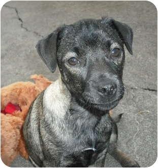 Miniature Pinscher/Schnauzer (Miniature) Mix Puppy for adoption in Cincinnati, Ohio - Minnie