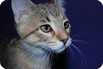Domestic Shorthair Kitten for adoption in Spruce Grove, Alberta - Levi