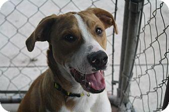 Labrador Retriever Mix Dog for adoption in Anderson, Indiana - Memphis