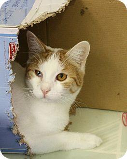 Domestic Shorthair Kitten for adoption in Rochester, New York - Bella