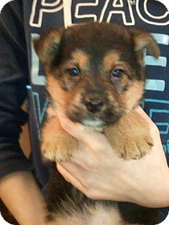 German Shepherd Dog/Husky Mix Puppy for adoption in Liberty Center, Ohio - Amaretta