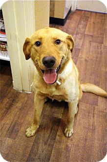 Labrador Retriever Mix Dog for adoption in Cumming, Georgia - Yogi