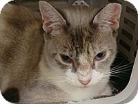 Calico Cat for adoption in Tampa, Florida - Simone