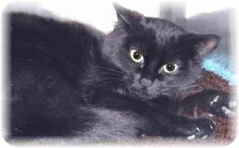 Domestic Shorthair Kitten for adoption in Grass Valley, California - Xena