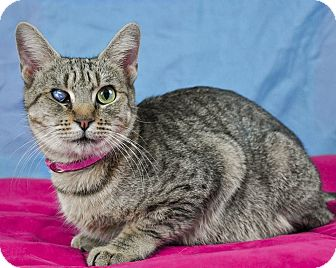 Domestic Shorthair Cat for adoption in Riverside, California - Mamma Jamma
