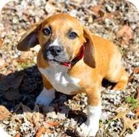 Beagle Mix Puppy for adoption in Salem, New Hampshire - PUPPY ORLI