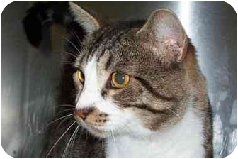 Domestic Shorthair Cat for adoption in New Albany, Indiana - Crawford