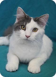 Domestic Mediumhair Cat for adoption in Wichita, Kansas - Gabriel