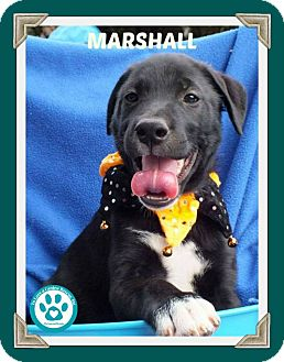 Labrador Retriever Mix Puppy for adoption in Kimberton, Pennsylvania - Marshall