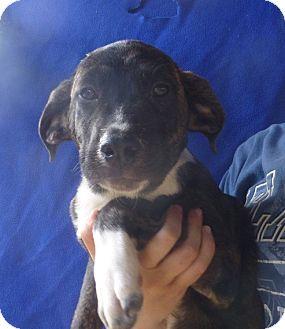 German Shepherd Dog/Labrador Retriever Mix Puppy for adoption in Oviedo, Florida - Halie