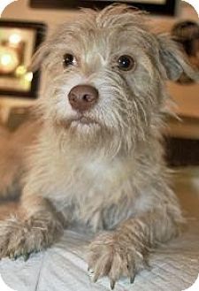 Terrier (Unknown Type, Small) Mix Puppy for adoption in Bluemont, Virginia - JOCK
