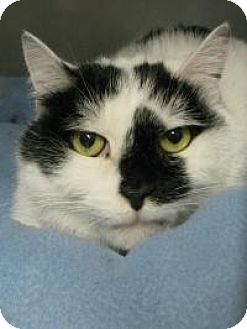 Domestic Shorthair Cat for adoption in Voorhees, New Jersey - Sasquatch - PetValu Voorhees