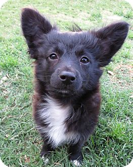 Pomeranian/Schnauzer (Miniature) Mix Puppy for adoption in McKinney, Texas - Jacob