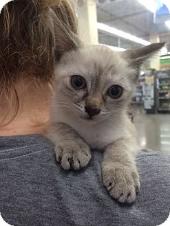 Siamese Kitten for adoption in Los Angeles, California - Khaleesi