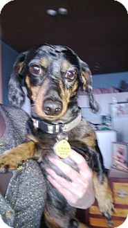 Dachshund Dog for adoption in Toronto, Ontario - Wiley