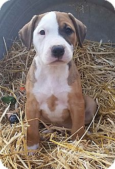 Pit Bull Terrier/Boxer Mix Puppy for adoption in Los Angeles, California - Topaz