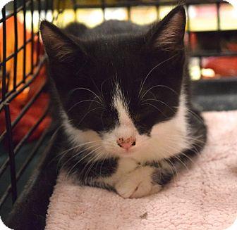 Domestic Shorthair Kitten for adoption in Washington, Pennsylvania - Jake