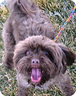 Shih Tzu/Poodle (Miniature) Mix Dog for adoption in Fruit Heights, Utah - Bella
