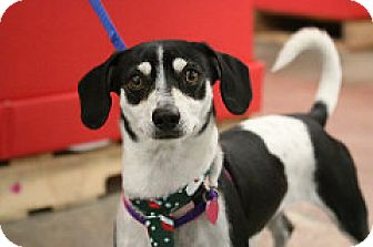 Chihuahua/Beagle Mix Dog for adoption in Fountain Valley, California - Cow Cow