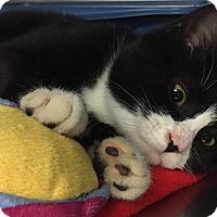 Adopt A Pet :: Adelie - Chesapeake, VA