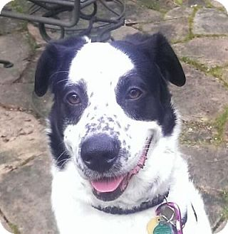 Border Collie/Australian Cattle Dog Mix Dog for adoption in Kirkland, Washington - Calvin