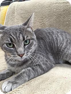 Domestic Shorthair Cat for adoption in Maryville, Missouri - Dino