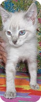 Domestic Shorthair Kitten for adoption in Rapid City, South Dakota - Dexi