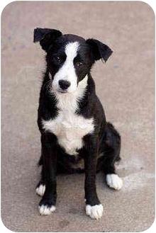 Border Collie Mix Dog for adoption in Portland, Oregon - Maddie