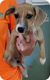 Chihuahua/Miniature Pinscher Mix Puppy for adoption in Ellaville, Georgia - Stella (adoption pending)