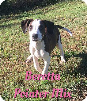 German Shorthaired Pointer Mix Puppy for adoption in Cheney, Kansas - Beretta