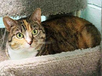 Domestic Mediumhair Cat for adoption in Hampton Bays, New York - ZENYA