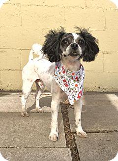 Shih Tzu Mix Dog for adoption in Pueblo, Colorado - Oscar