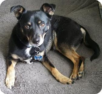 Miniature Pinscher/Terrier (Unknown Type, Small) Mix Dog for adoption in Dallas, Texas - Spanky