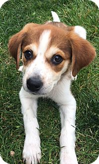 Spaniel (Unknown Type)/Retriever (Unknown Type) Mix Puppy for adoption in Mt. Prospect, Illinois - Robin
