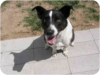 Border Collie Dog for adoption in Meridian, Idaho - Hank