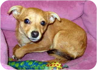 Chihuahua/Miniature Pinscher Mix Puppy for adoption in Los Angeles, California - Bug *VIDEO*