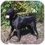 Photo 2 - Labrador Retriever Mix Dog for adoption in Austin, Minnesota - Libby