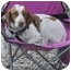 Photo 2 - Brittany Dog for adoption in Odenton, Maryland - GUNTHER