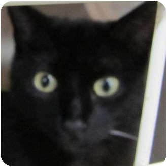 Domestic Shorthair Kitten for adoption in Muskogee, Oklahoma - Buffy