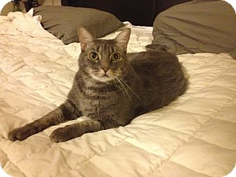 Domestic Shorthair Cat for adoption in Chandler, Arizona - Max