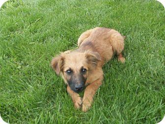 German Shepherd Dog/Australian Shepherd Mix Puppy for adoption in Liberty Center, Ohio - Lindsay