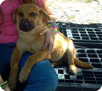 Shepherd (Unknown Type)/Corgi Mix Puppy for adoption in Kimberton, Pennsylvania - Brownie