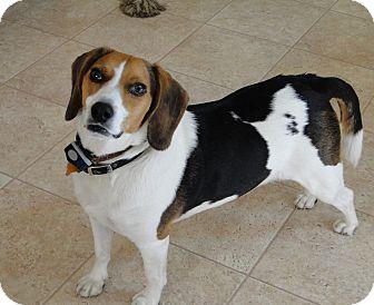 Beagle/Basset Hound Mix Dog for adoption in Lisbon, Ohio - Boo ADOPTED!!!