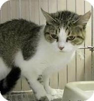 Domestic Shorthair Cat for adoption in Hillside, Illinois - Ashley