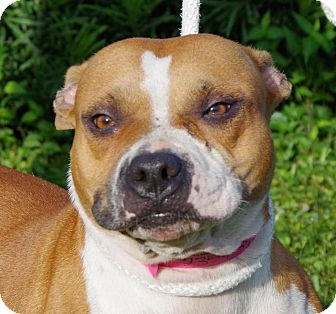 Pit Bull Terrier Mix Dog for adoption in Daytona Beach, Florida - Holly