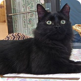 Domestic Mediumhair Cat for adoption in West Kennebunk, Maine - Florence