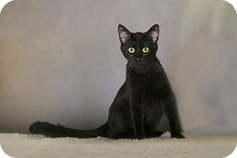 Domestic Shorthair Cat for adoption in Charlotte, North Carolina - A..  Nash