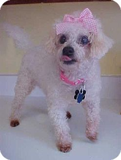 Poodle (Miniature)/Maltese Mix Dog for adoption in Dahlgren, Virginia - Eda Bug - 10 lbs